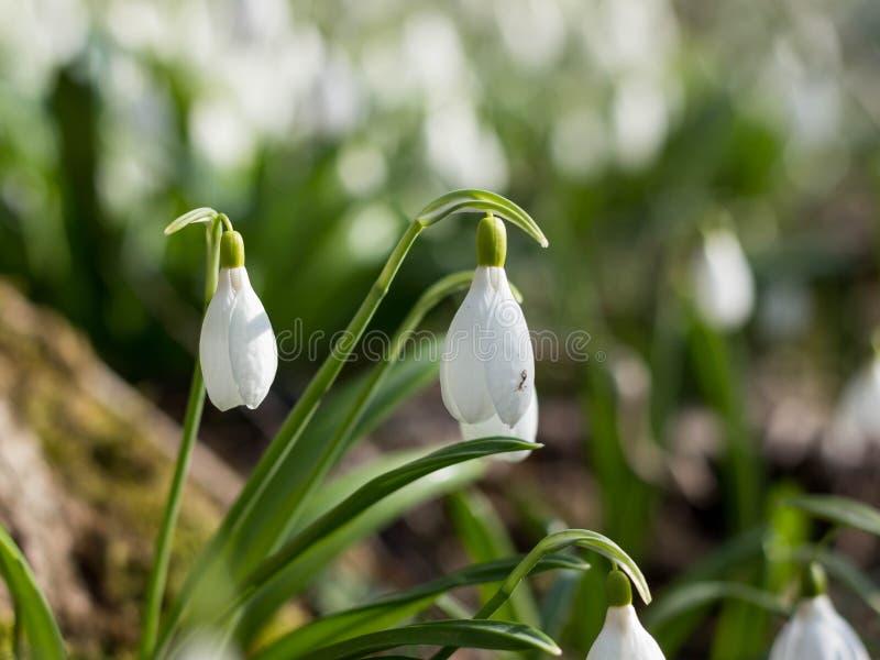 Schneeglöckchenfrühling blüht Galanthus-plicantus Der frische Grünbrunnen, der das Weiß Schneeglöckchen ergänzt, blüht Schneeglöc lizenzfreie stockbilder