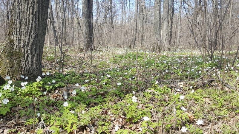 Schneegl?ckchen im Wald im Vorfr?hling Wilde Blumen auf der Wiese Schneegl?ckchenfr?hlingsblumen stockfotos
