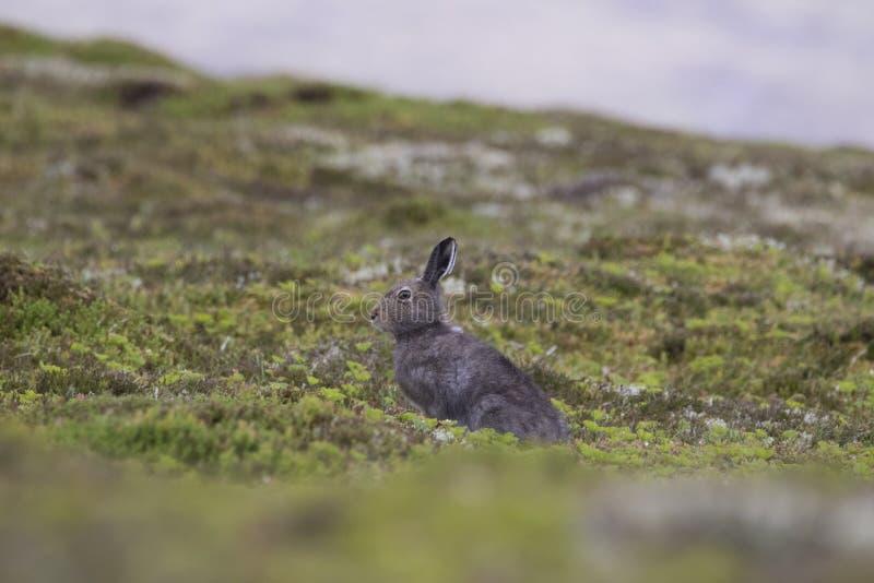 Schneehase in im blauen Mantel, der Heide und dem Verhalten des Sommers stockfoto