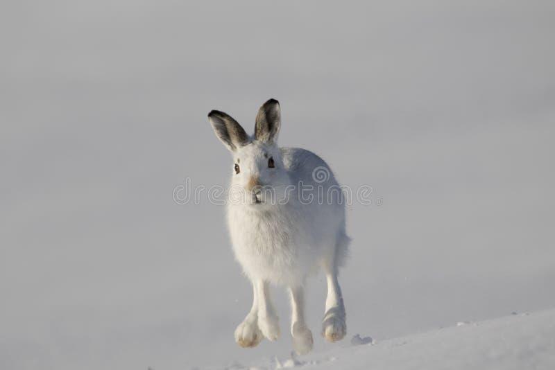 Schneehase, Lepus timidus, Sitzen, laufend an einem sonnigen Tag im Schnee während des Winters im Nationalpark des Rauchtquarzes, lizenzfreie stockfotos