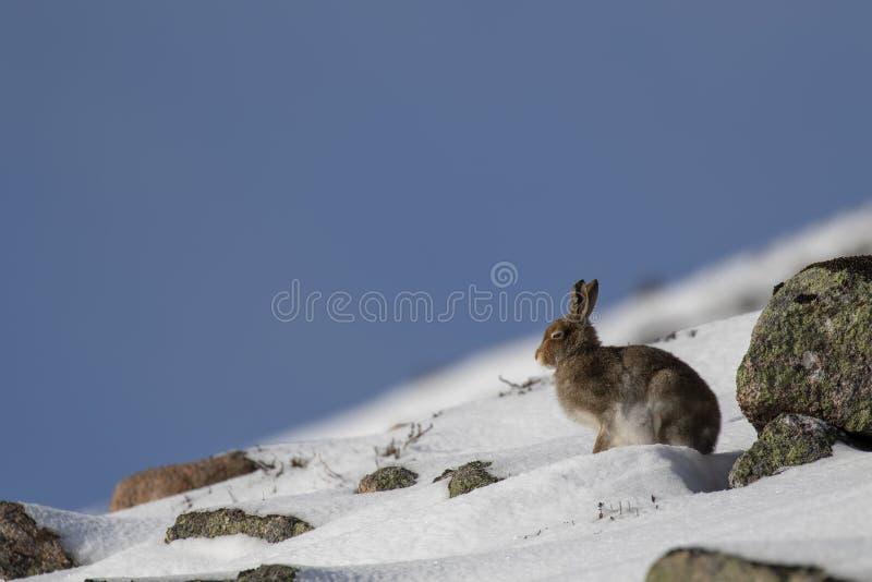 Schneehase, Lepus timidus, während Oktobers noch im Sommermantel umgeben durch Schnee in den Rauchtquarzen NP, Schottland lizenzfreie stockbilder
