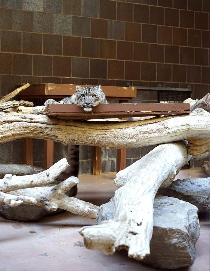 Schneeleopard im Ruhezustand lizenzfreies stockfoto