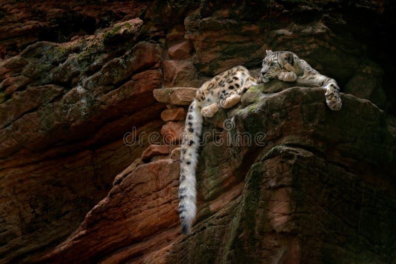 Schneeleopard mit dem langen Schwanz im dunklen Felsenberg, Nationalpark Hemis, Kaschmir, Indien Szene der wild lebenden Tiere vo lizenzfreie stockbilder