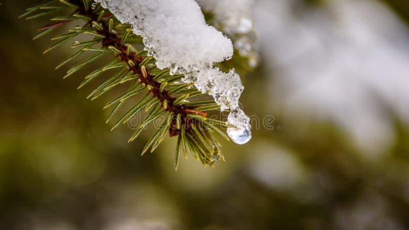 Schneeschmelzen der Kiefer stockfotos