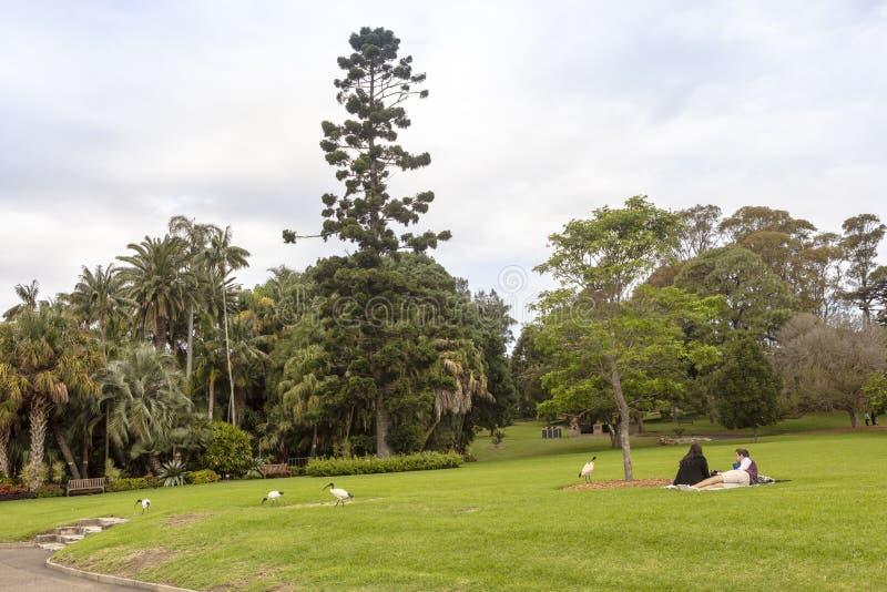 Schneesichlervögel in einem australischen Stadtpark stockbild