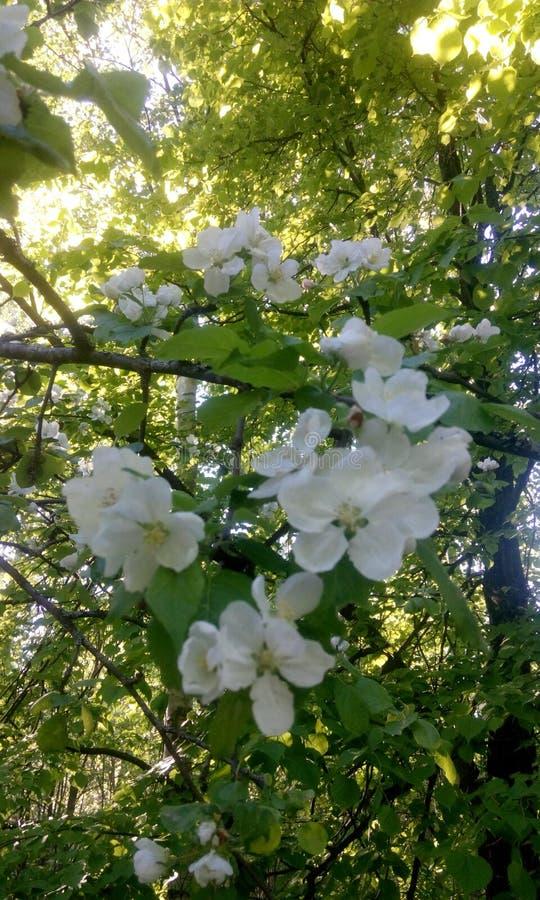 Schneeweiße Apple-Blüte stockbild