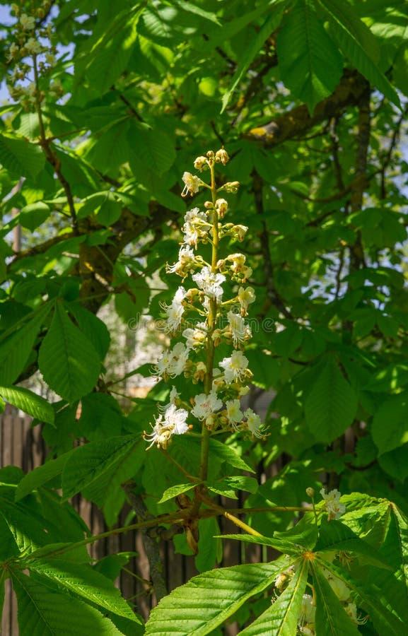 Schneeweiße Pfeile von blühenden Kastanienblumen auf einem Baum Blühende Kastanie stockfotos