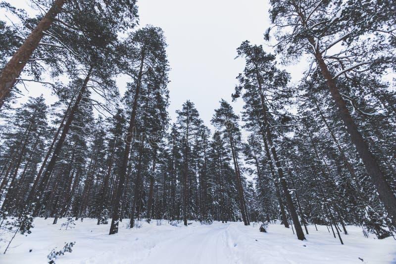 Schneewinterwald mit hohen Kiefern, schneebedeckte B?ume Feenhafter Wald des Winters bedeckt mit Schnee stockfoto