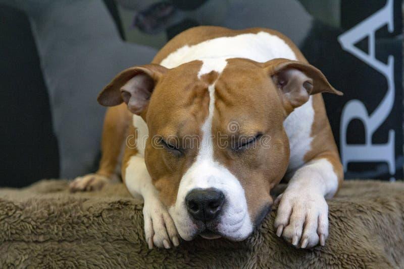 Schneewittchen Staffordshire-Bullterrierhunderasse, rief auch American Staffordshire, schläft friedlich an lizenzfreies stockbild