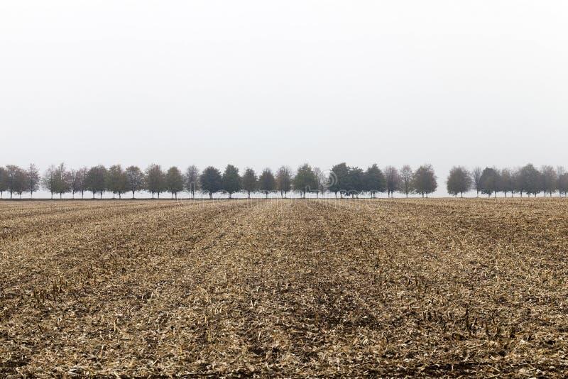 Schneiden Sie die Stiele von Mais im Herbst lizenzfreies stockbild