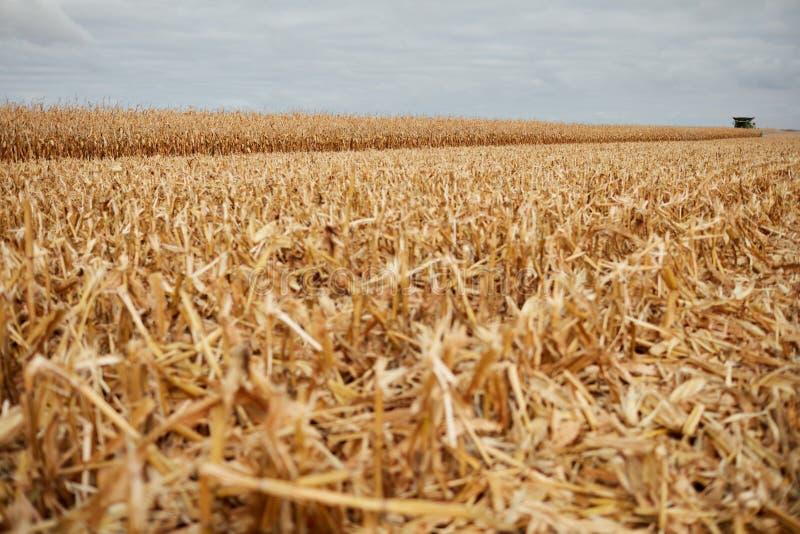 Schneiden Sie Maisstoppel und -Spreu auf einem Herbstgebiet lizenzfreies stockfoto