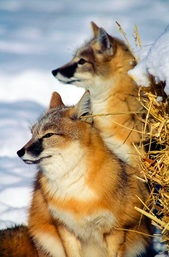 Schneller Fox zwei, der nach Opfer im Schnee sucht lizenzfreies stockbild