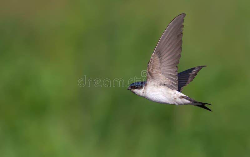 Schnelles Fliegen der allgemeinen Mehlschwalbe auf grünem Hintergrund stockfoto