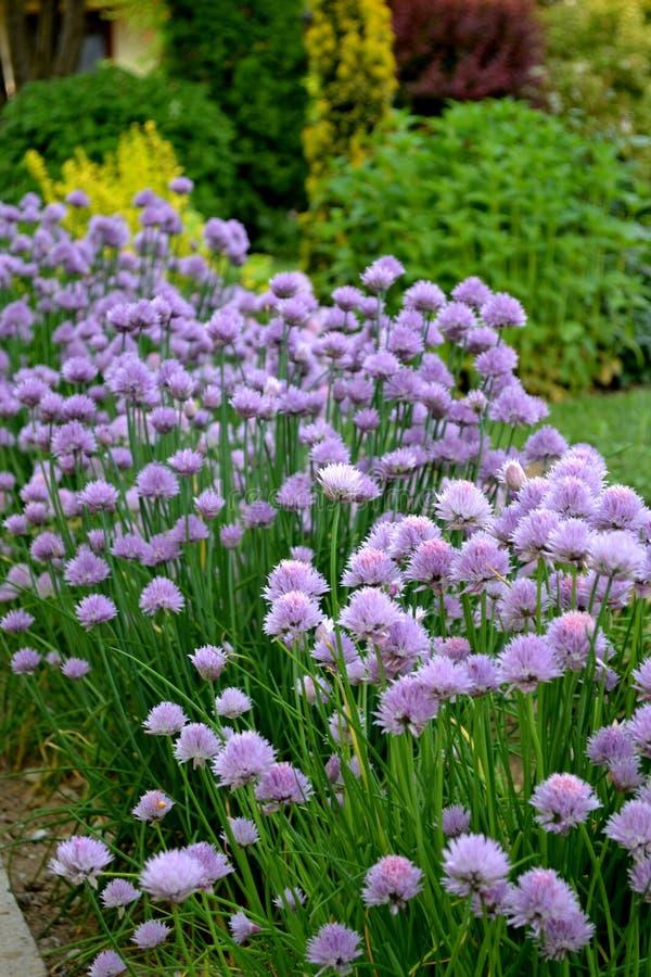 Schnittlauche, die im Frühjahr Garten blühen stockfotos