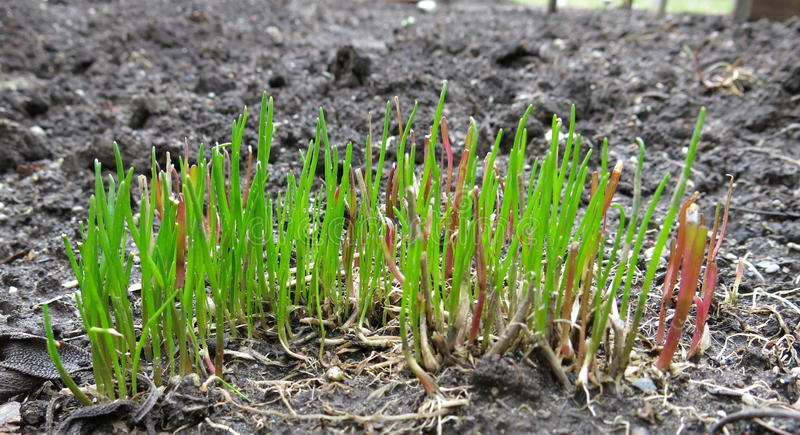 Schnittlauche, die im Frühjahr wachsen stockfotos