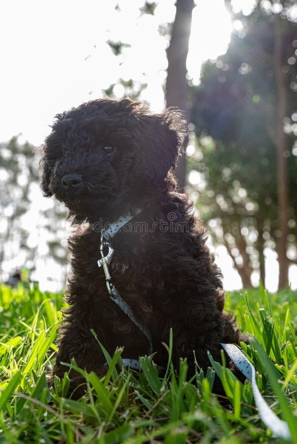 Schnoodle szczeniaka pies pozuje w długiej trawie fotografia stock