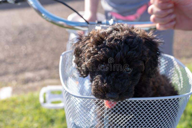 Schnoodle szczeniaka psa obsiadanie w roweru koszu obraz royalty free