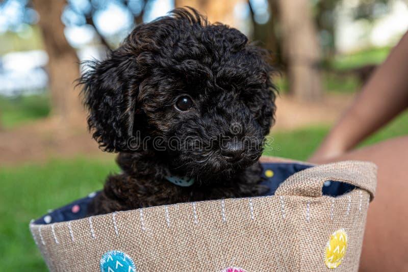 Schnoodle szczeniaka psa obsiadanie w torbie obraz stock