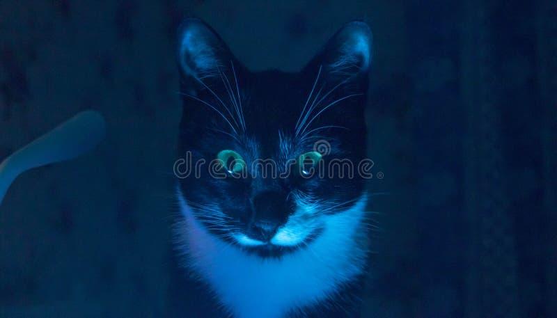 Schnurren in der dunklen schwarzen Katze stockfotografie
