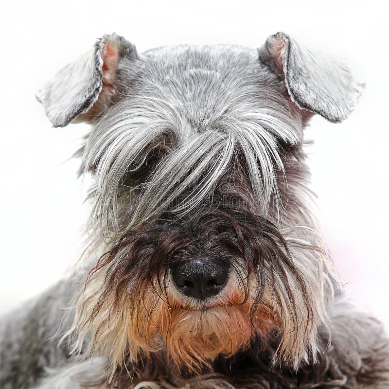 Hund, der durch langes Haar schaut lizenzfreie stockfotos