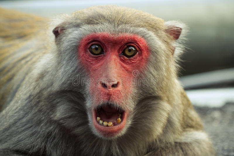 Shocked. A crab-eating macaque with a shocked expression royalty free stock photography