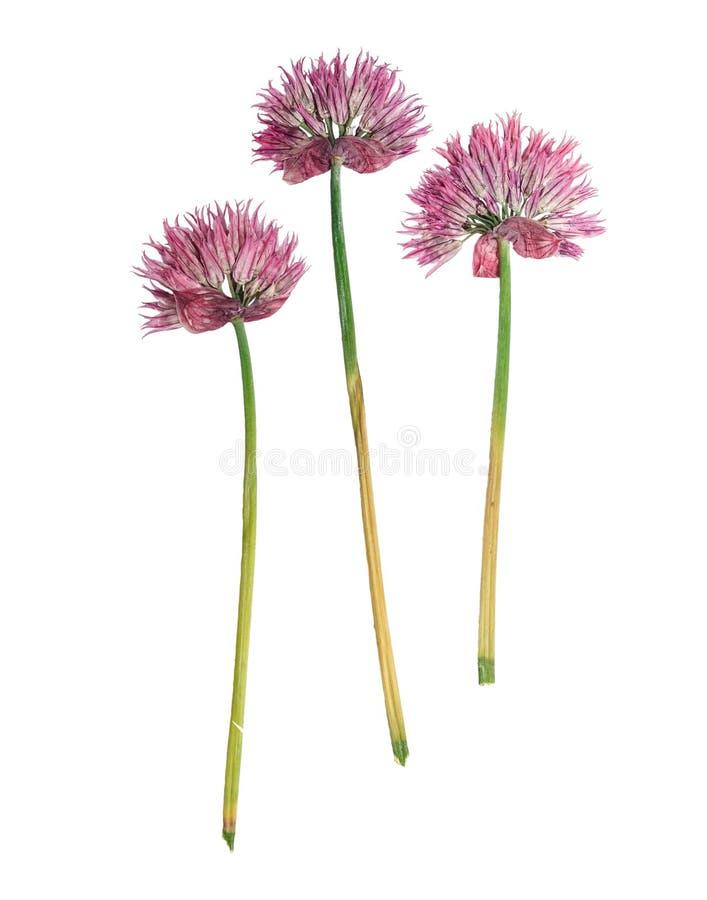 Schoenoprasum pressé et sec d'allium de fleur D'isolement images stock