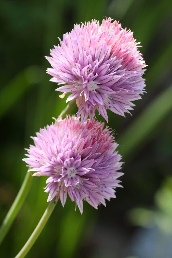 Schoenoprasum van het allium royalty-vrije stock afbeelding