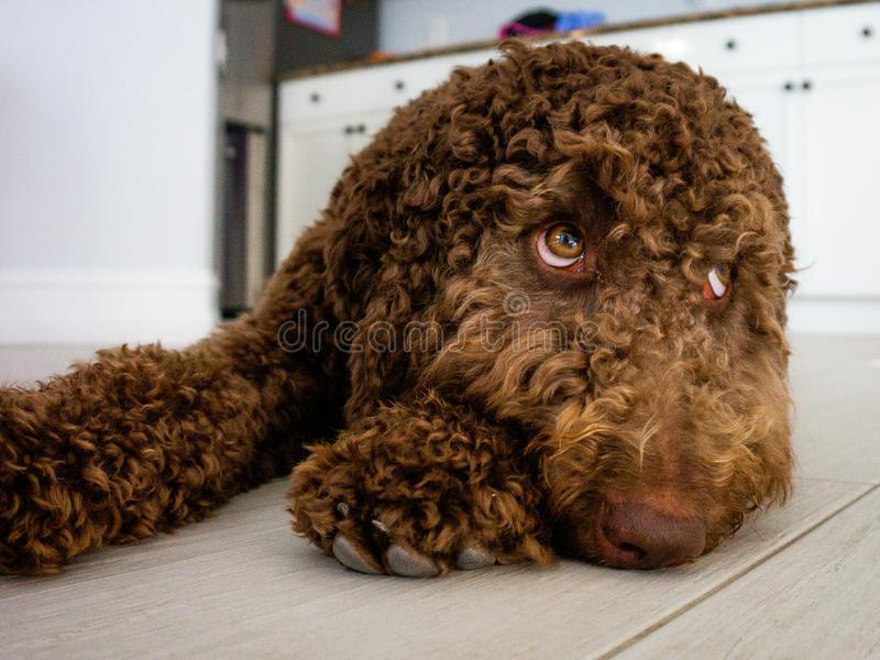 Schokolade labradoodle brauner Welpe stockfotografie