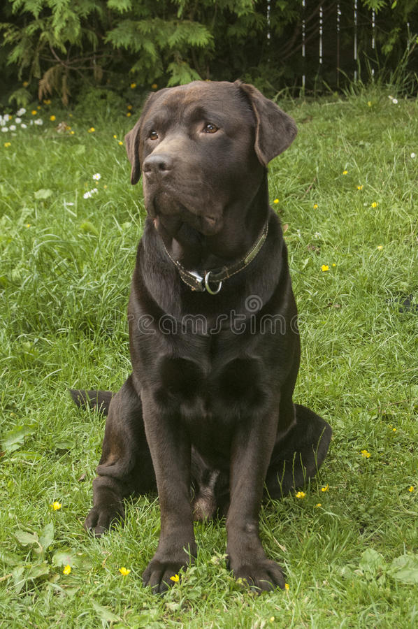 Schokolade Labrador stockfoto