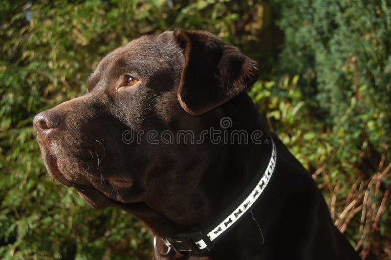 Schokolade Labrador lizenzfreies stockfoto