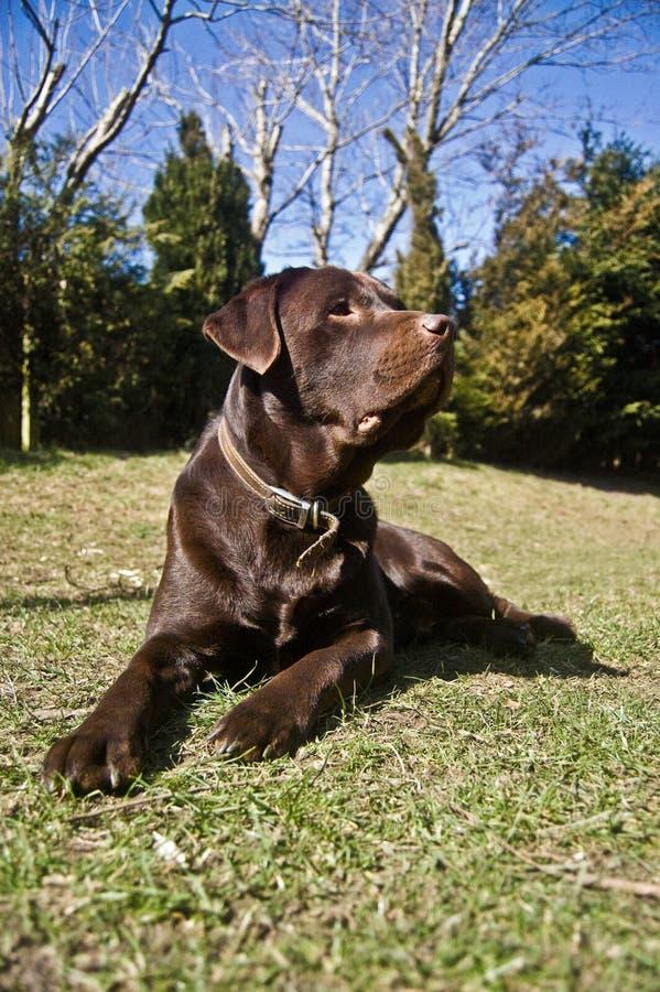 Schokolade Labrador stockfotografie