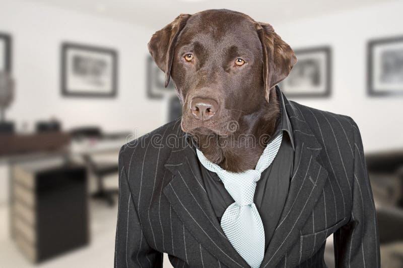 Schokolade Labrador in der Pin-Streifen-Klage stockfoto