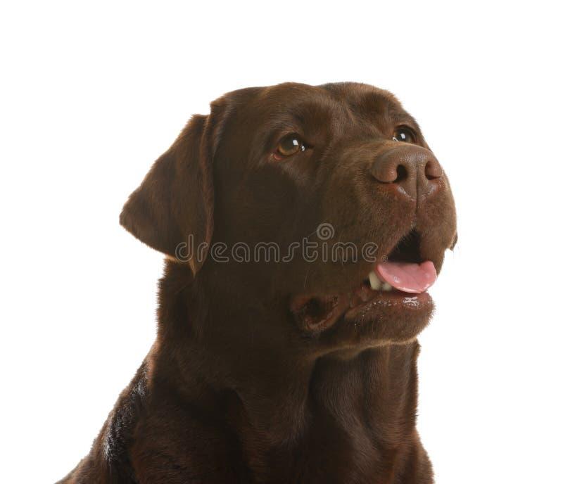 Schokolade Labrador retriever Entz?ckendes Haustier lizenzfreies stockfoto