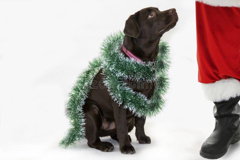 Schokolade labrador retriever mit Santa Claus stockbilder