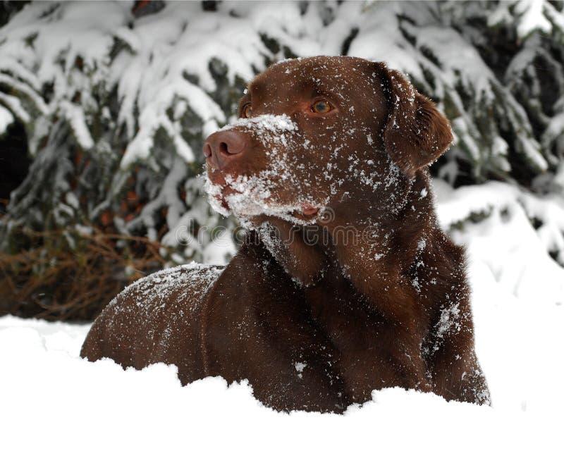 Schokoladen-Labrador-Apportierhund im Schnee lizenzfreies stockfoto
