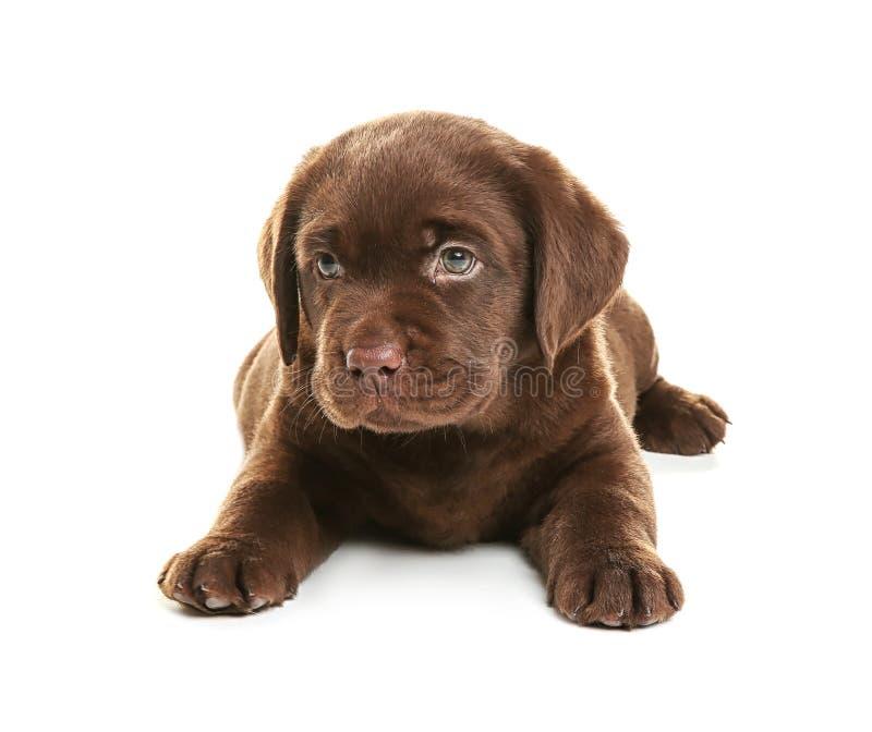Schokoladen-Labrador retriever-Welpe auf weißem Hintergrund lizenzfreie stockfotografie