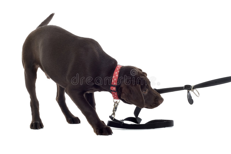 Schokoladen-Labrador-Welpe lizenzfreies stockbild