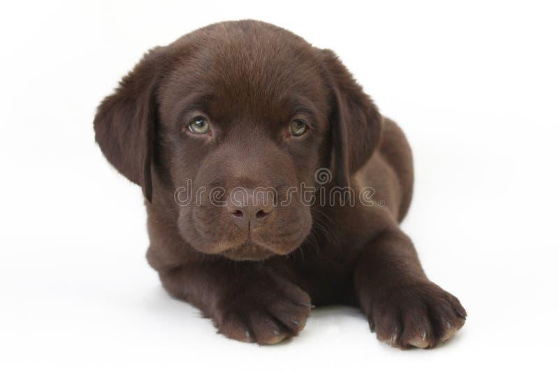 Schokoladenlabrador-Apportierhundwelpe mit grünen Augen lizenzfreie stockfotos