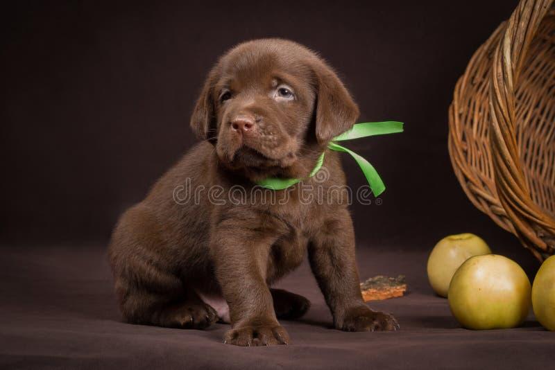 Download Schokoladenlabrador-Welpe, Der Auf Einem Braun Sitzt Stockfoto - Bild von schwarzes, familie: 47100380