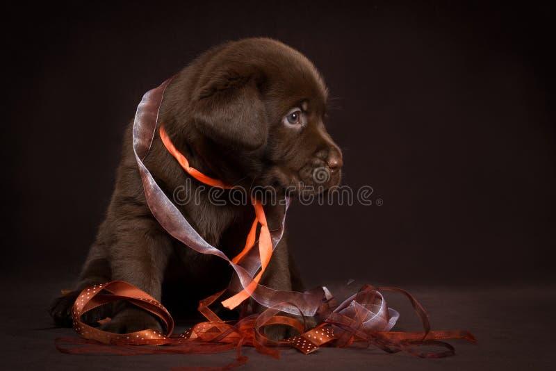 Download Schokoladenlabrador-Welpe, Der Auf Einem Braunen Hintergrund Sitzt Stockbild - Bild von pflegen, inländisch: 47100387