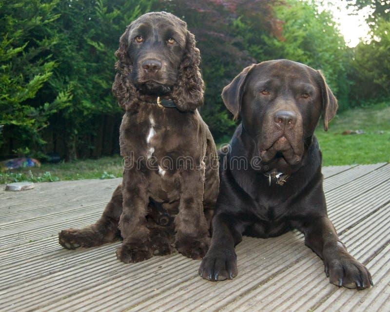Schokoladenspringerspaniel und Schokolade Labrador stockbild