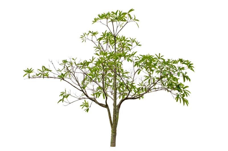 Scholaris d'Alstonia (Apocynaceae), généralement appelés le tre de Blackboard photographie stock