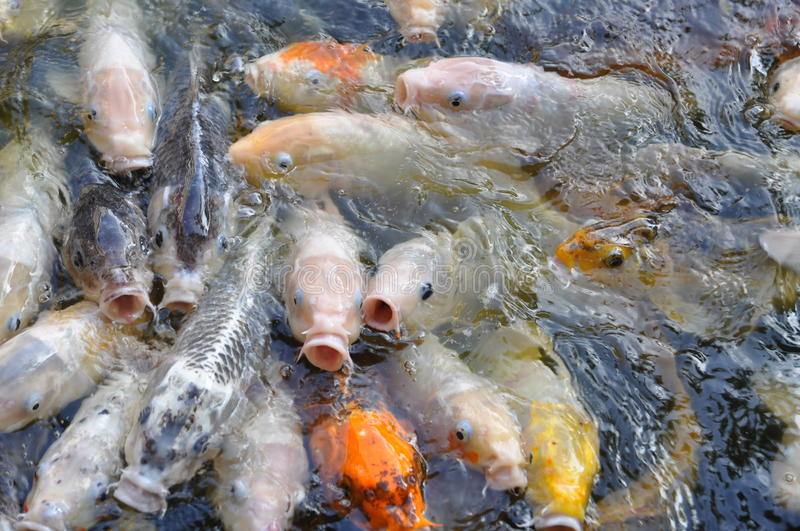School of air gulping koi royalty free stock photography