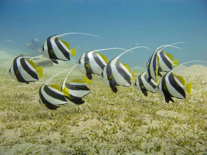 School of bannerfish swimming over the seagrass with clear blue sea in the background. Schooling Bannerfish Heniochus diphreutes - Underwater at dive site stock photo
