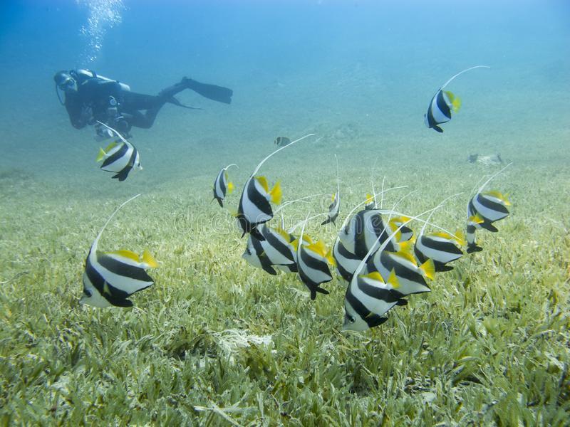 School of bannerfish swimming over the sea grass with clear blue sea and silhouette of a diver in the background. Schooling bannerfish Heniochus Diphreutes royalty free stock photos
