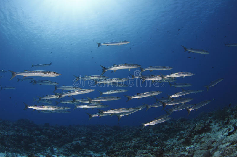 Download School of Barracuda stock photo. Image of diver, shallow - 29372776