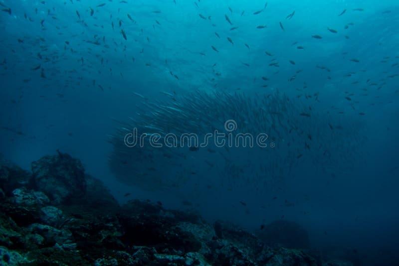 School of Barracuda stock images