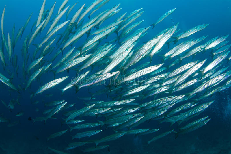 Download School of barracudas stock image. Image of tropical, underwater - 21810553