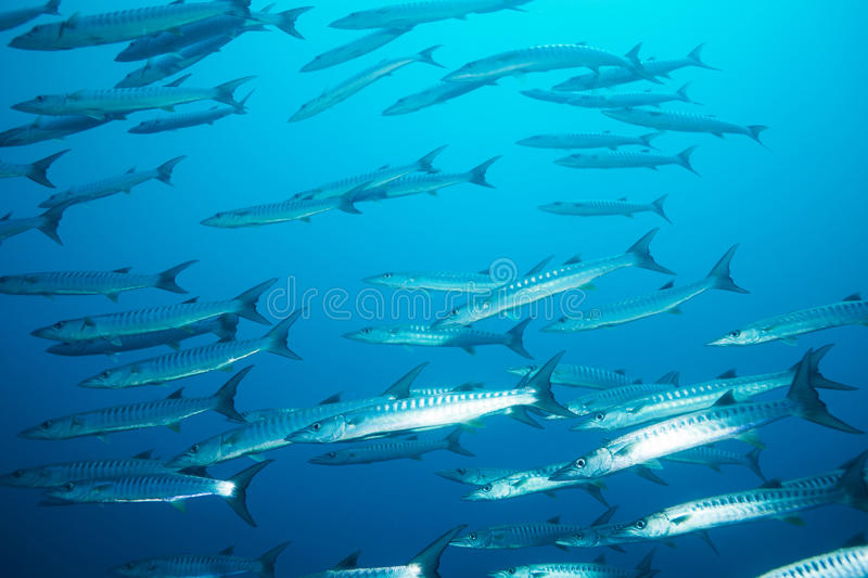 Download School Of Barracudas In The Stream Stock Photo - Image: 26899260