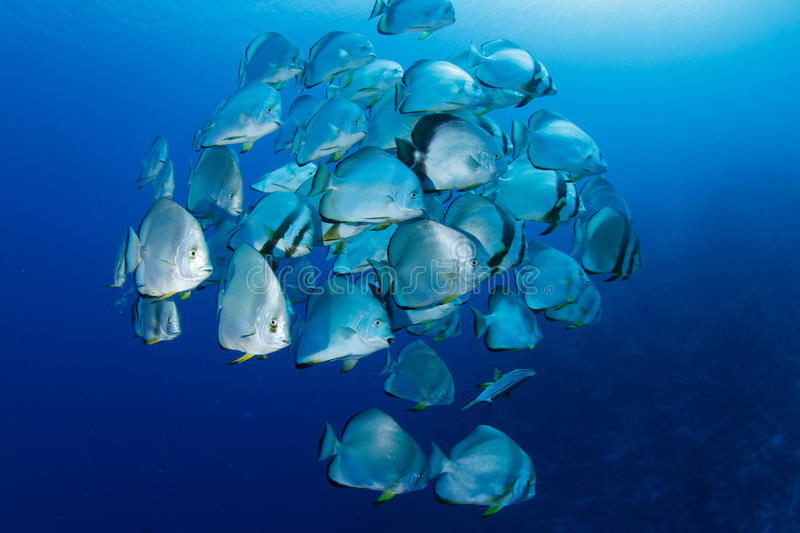 School of batfish. In the red sea stock photos